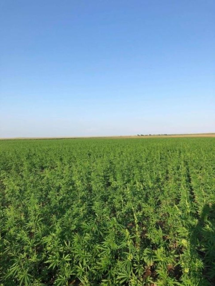Photo -  A field of hemp grown last year as part of Oklahoma's industrial hemp pilot program is shown. [Botanac LLC]