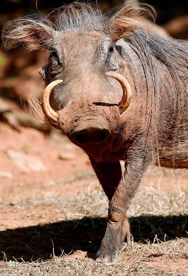 Photo - Animal Mug shot of a warthog for a special feature about