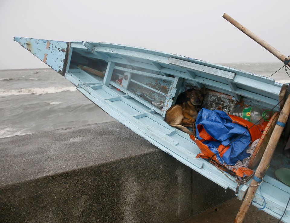 Photo - A dog seeks shelter in a small boat which has been placed by the seawall under a slight rain and wind brought by Typhoon Koppu Sunday, Oct. 18, 2015 in Manila, Philippines. The slow-moving typhoon blew ashore with fierce wind in the northeastern Philippines early Sunday, toppling trees and knocking out power and communications. Officials said there were no immediate reports of casualties. (AP Photo/Bullit Marquez)