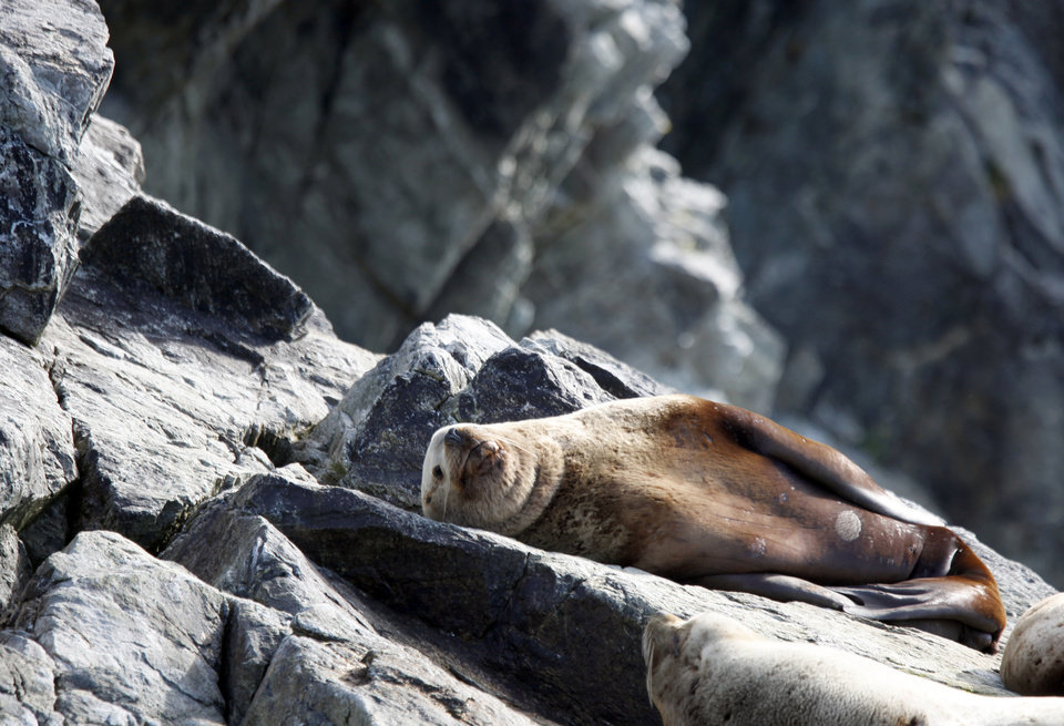 A Steller sea lion sunbaths near the Inian Islands in Southeast Alaska, Wednesday, June 6, 2012.  Photo by Sarah Phipps, The Oklahoman