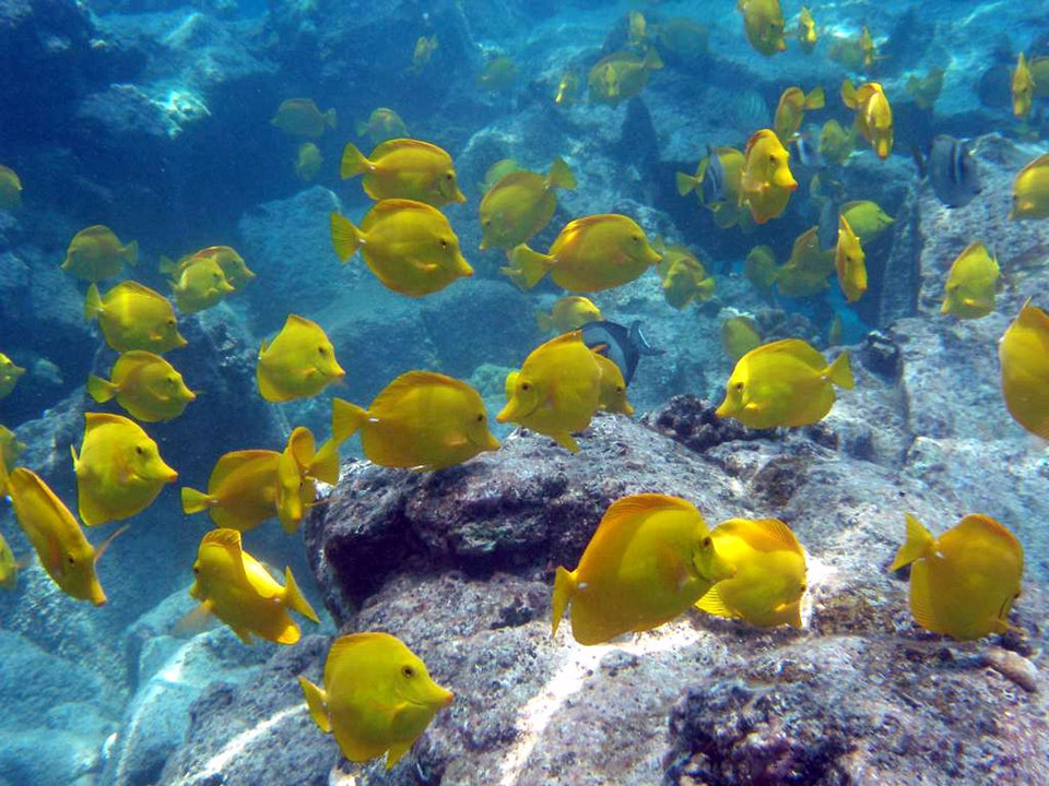 Photo - File-This undated file photo from Oregon State University shows a school of yellow tang off the coast of Hawaii. The waters off the Hawaii's largest island are home to a half-million brightly-colored tropic fish that are scooped up into nets each year and flown across the globe into aquariums from Berlin to Boston. Scientists say the aquarium fishery off the Big Island is among the best managed in the world, but it has nevertheless become the focus of a fight over whether it's ever appropriate to remove fish from reefs for people to look at and enjoy. (AP Photo/Oregon State University, Bill Walsh,File) NO SALES