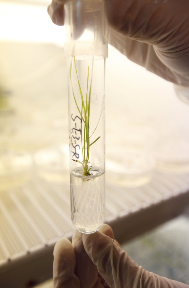 Photo - A researcher looks at a sprig of genetically modified wheat at the Noble Research Center at Oklahoma State University in Stillwater.  PHOTO BY PAUL HELLSTERN, THE OKLAHOMAN  PAUL HELLSTERN - Oklahoman