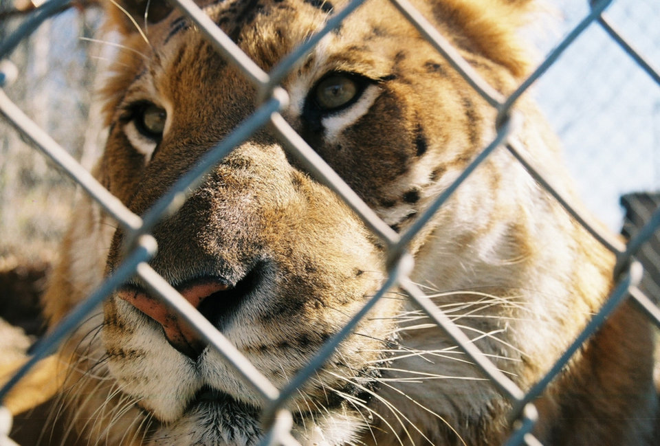 Photo - Rocky the liger, shown in this undated file photo, attacked a worker Wednesday at a Wagoner County wildlife refuge.     TULSA WORLD PHOTO
