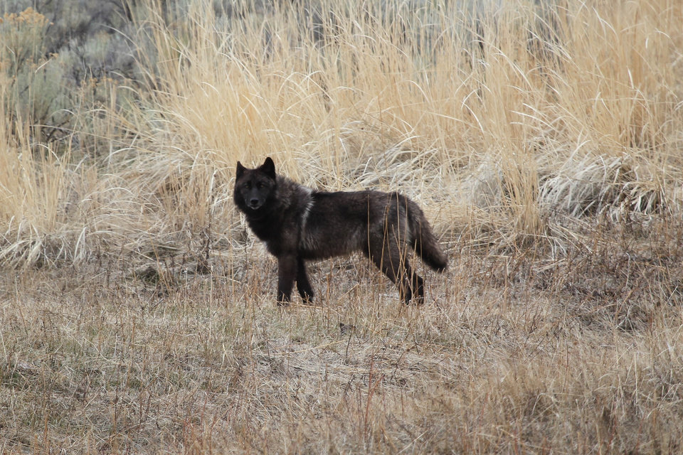 "Photo - In this April 5, 2012 photo provided by the U.S. National Park Service shows the black female wolf  ""831F,"" a member of pack at the Yellowstone National Park, Mont. A big game outfitter shot and killed this female collared research wolf from Yellowstone National Park last Sunday, over the weekend after losing more than a dozen sheep to wolves two weeks ago. (AP Photo/National Park Service)"