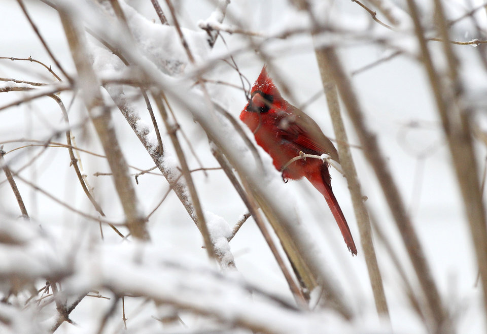 Photo - A cardinal perches on a bare tree branch as snow falls on Monday, March 3, 2014 in Charlottesville, Va. Winter kept its icy hold on much of the country Monday, with snow falling and temperatures dropping.  (AP Photo/The Daily Progress, Ryan M. Kelly)