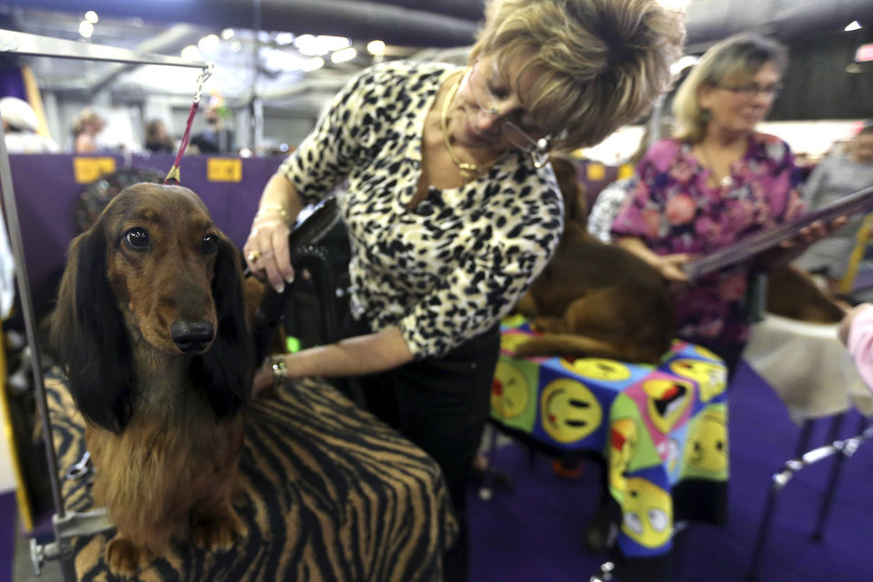 Cyndy Geiser, of Lacon, Ill., grooms Campell, a Standard Long Hair Dachshund during the 137th Westminster Kennel Club dog show, Monday, Feb. 11, 2013, in New York. (AP Photo/Mary Altaffer) ORG XMIT: NYMA111