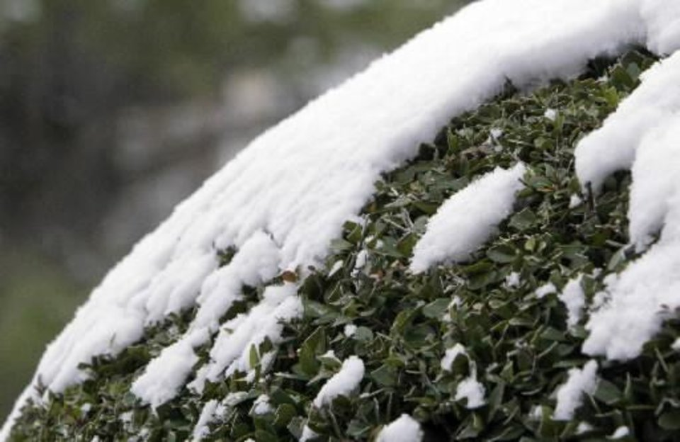 Photo - Snow clings to a manicured bush after about an inch of snow fell overnight in Oklahoma City, OK, Monday, Feb. 13, 2012. By Paul Hellstern