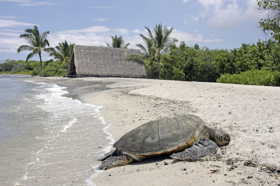 Photo - A sea turtle lies on the beach in Kailua, Hawaii on Thursday, Aug. 7, 2014. With Iselle, Hawaii is expected to take its first direct hurricane hit in 22 years. Tracking close behind it is Hurricane Julio. (AP Photo/Chris Stewart)