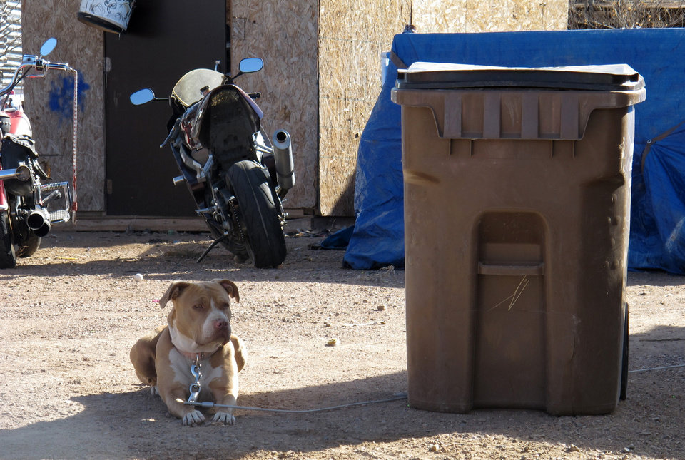 This photo taken on Thursday Nov. 29, 2012 in Moriarty, NM, shows one of two pit bulls tied up outside the mobile home where an alleged animal rescuer turned dog napper is accused of stealing two pit bulls. The home�s resident told sheriff�s officials she came home from work to find the woman taking her dogs. She said the woman then threw the two dogs from her moving vehicle when she gave chase. (AP Photo/Jeri Clausing)