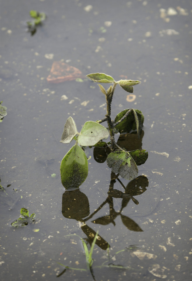 Photo - A soybean plant sits in a flooded field farm field, Monday, June 30, 2014, near Dallas Center, Iowa. The U.S. Department of Agriculture, in a report released Monday, says farmers are planting the smallest corn crop since 2010 but as expected have planted the largest soybean crop on record. (AP Photo/Charlie Neibergall)