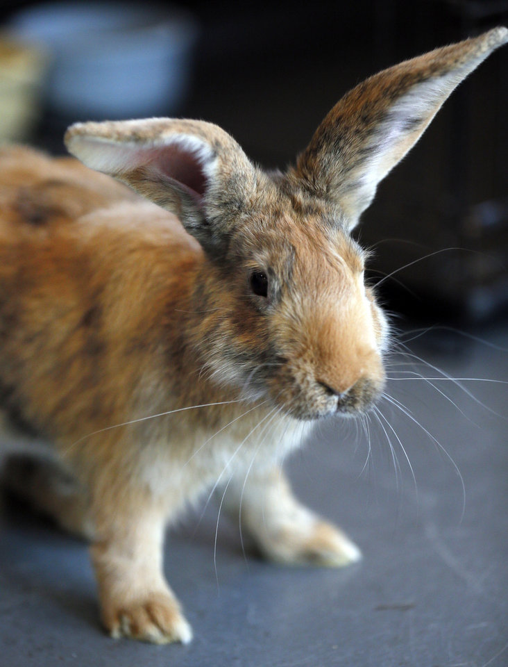 Photo - Max is a neutered male rabbit available at  Norman Animal Welfare Shelter. The fee is $30. For more information, call 292 9736.  Photo by Steve Sisney, The Oklahoman