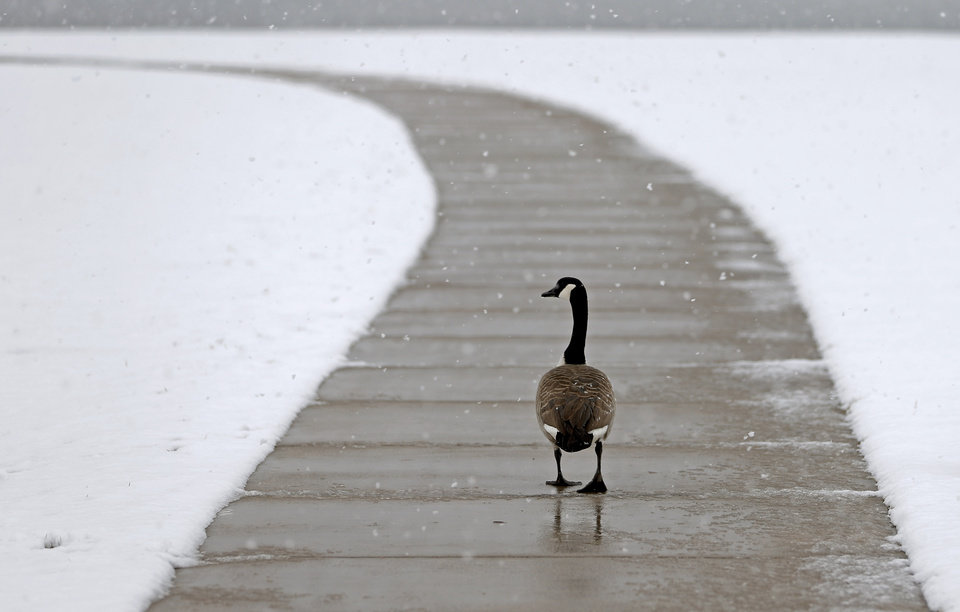 A goose walks along a sidewalk at Lake Hefner in Oklahoma City, Tuesday, Feb., 12, 2013. Photo by Bryan Terry, The Oklahoman