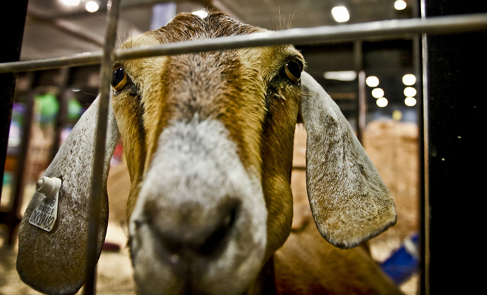 Photo - A goat stares down the camera at the Oklahoma State Fair at State Fair Park on Friday, Sept. 14, 2012, in Oklahoma City, Oklahoma.  Photo by Chris Landsberger, The Oklahoman