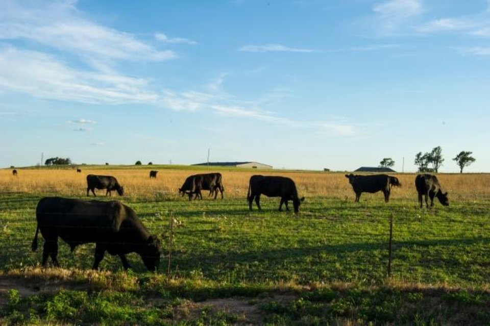 Photo -  Cattle graze pasture at an Oklahoma farm. Many farmers produce multiple products to support their businesses. [OKLAHOMA STATE UNIVERSITY]
