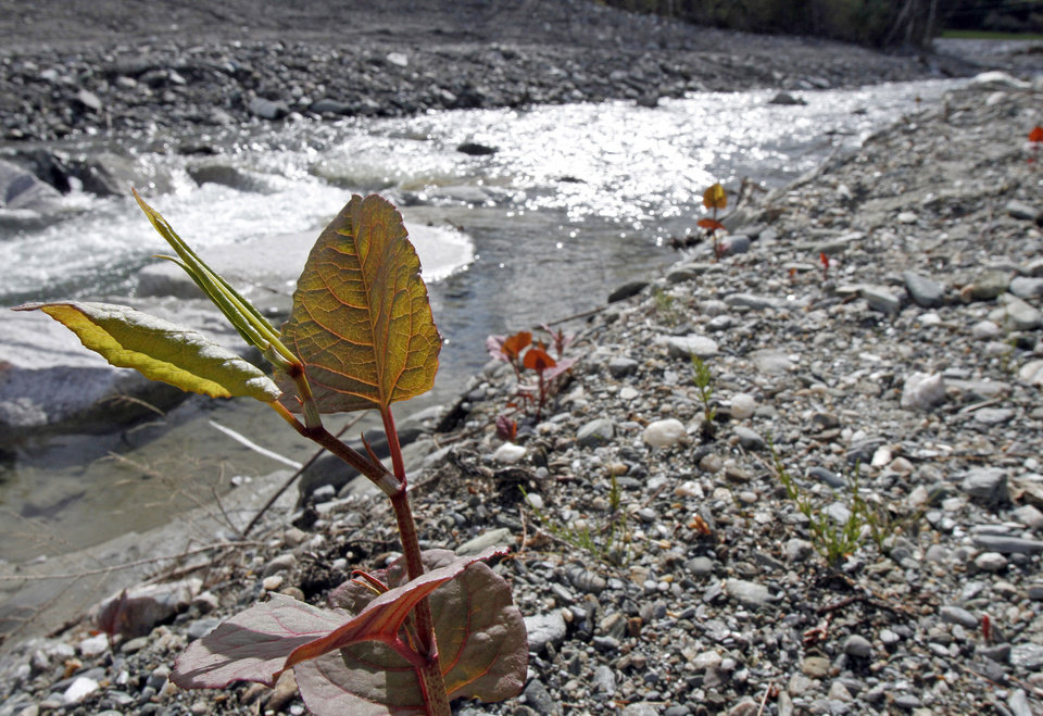 Photo -   In this April 26, 2012, photo, Japanese knotweed grows on a stream bank in Bethel, Vt. The flood waters of Tropical Storm Irene and work to remove silt and restore roads afterward had an unintended consequence: they spread Japanese knotweed, an invasive plant that has already clogged some river banks and roadsides in Vermont. (AP Photo/Toby Talbot)