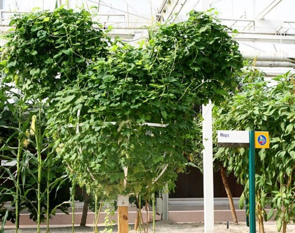 Mickey-shaped hops growing inside the Living with the Land ride at Disney's Epcot theme park.