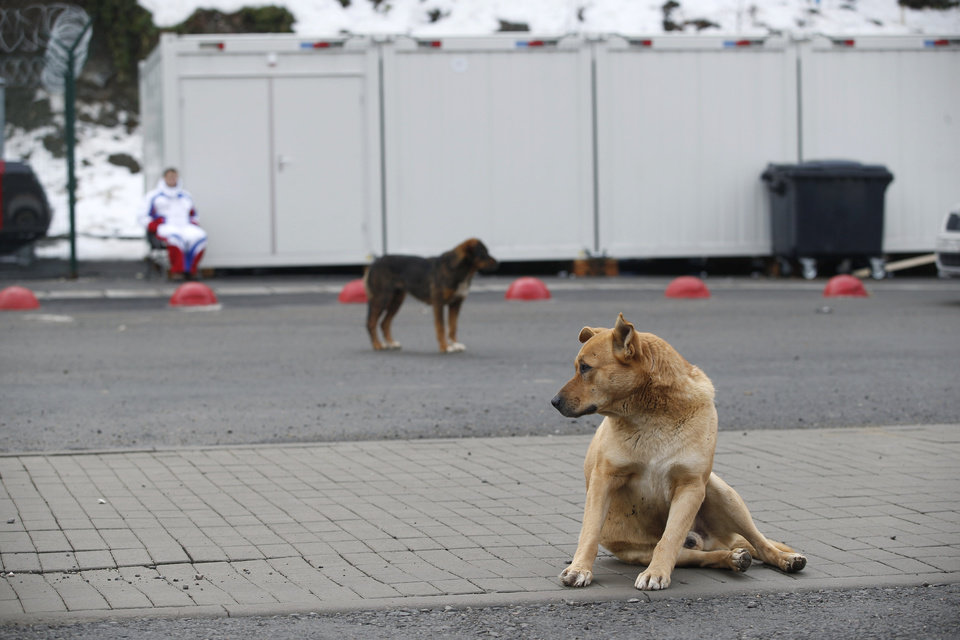 Photo - Stray dogs sit outside the Rosa Khutor Extreme Park course, a venue for the snowboarding and freestyle competitions of the 2014 Winter Olympics, in Sochi, Russia, Monday, Feb. 3 2014.  A pest control company which has been killing stray dogs in Sochi for years told The Associated Press on Monday that it has a contract to exterminate more of the animals throughout the Olympics. (AP Photo/Pavel Golovkin)