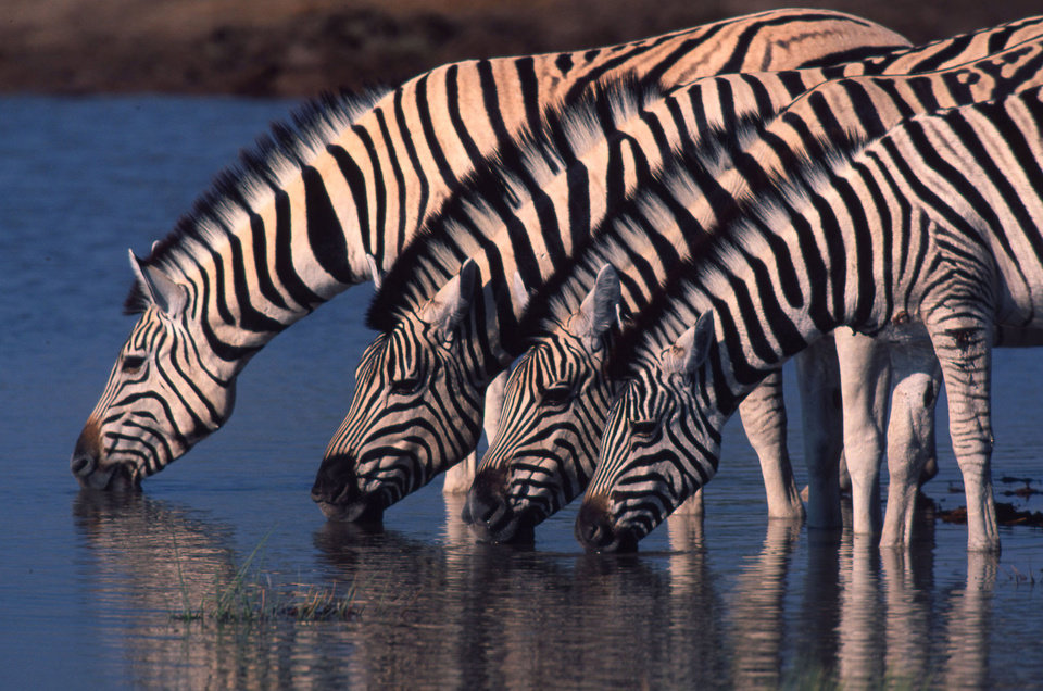 Photo - In this undated handout photo supplied by the World Wildlife Fund (WWF), zebra are seen at a watering hole in northern Namibia. Thousands of zebra were monitored during a 500 kilometers (300 miles) roundtrip journey, a newly discovered trek that wildlife experts say reaches farther than any other known land migration in Africa. The newfound migration is a rare bright spot at a time when mass movements of wildlife are disappearing because of fencing, land occupation and other human pressures, a conservation specialist said.  (AP Photo/HO-World Wildlife Fund International - Martin Harvey)   MANDATORY CREDIT