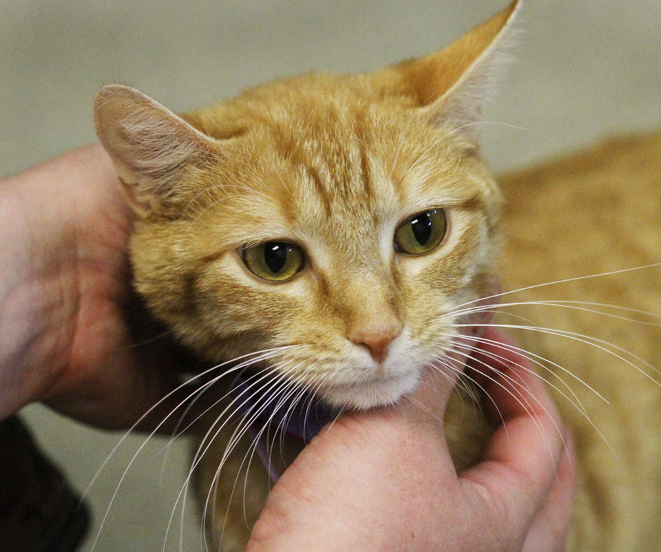 Photo - This cat is available for adoption at the Oklahoma City Animal Shelter.  Photo by Jim Beckel,  The Oklahoman