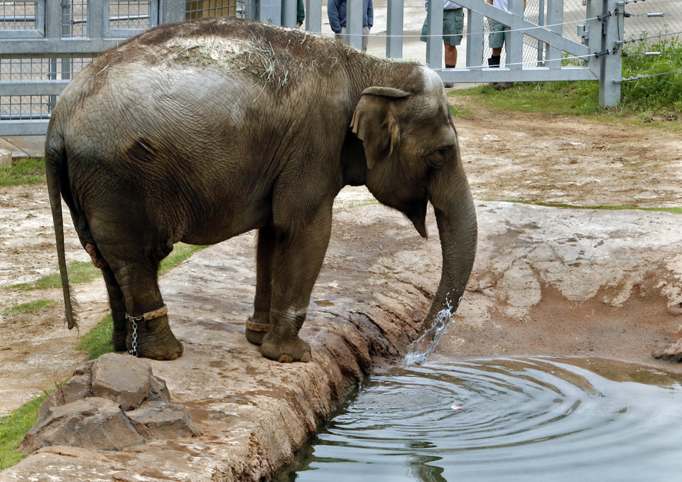 Photo - Asian Elephants Bamboo checks out her new surroundings at the Oklahoma City Zoo on Wednesday, May 13, 2015 in Oklahoma City, Okla.  Photo by Steve Sisney, The Oklahoman