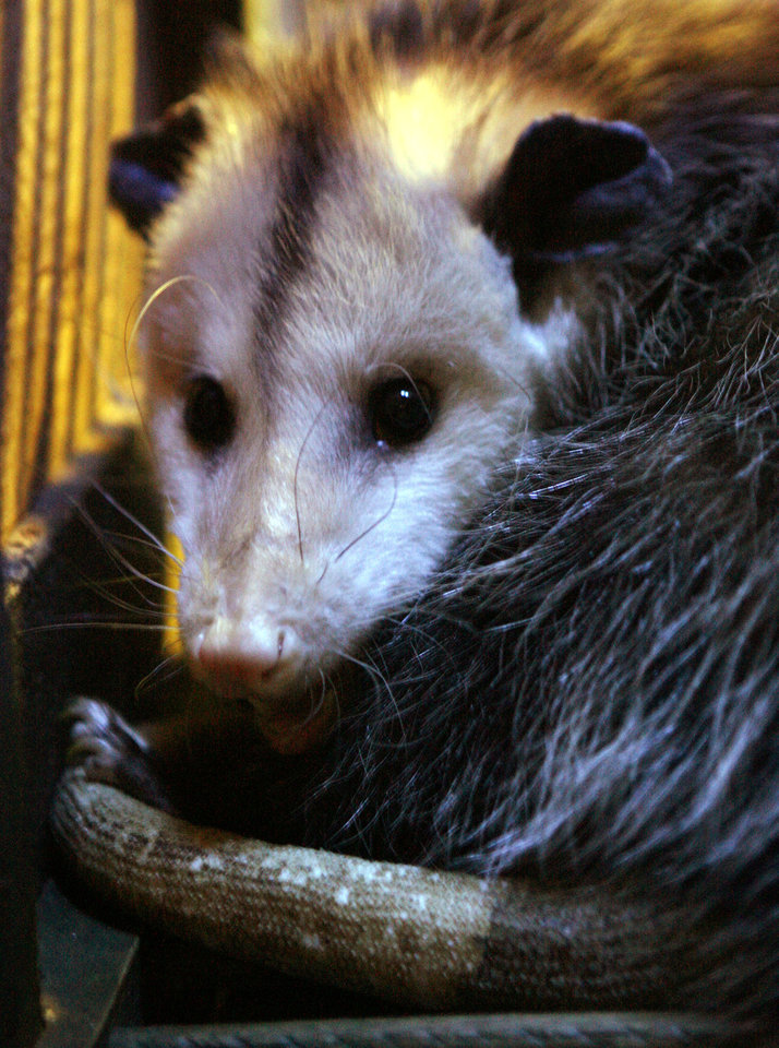 Photo - An opossum moves through a nocturnal display at the soon-to-be-opened
