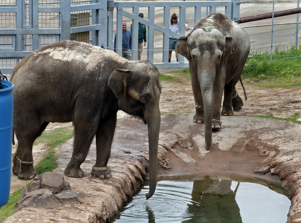 Photo - Asian Elephants Chai, left, and Bamboo check out their new surroundings at the Oklahoma City Zoo on Wednesday, May 13, 2015 in Oklahoma City, Okla.  Photo by Steve Sisney, The Oklahoman