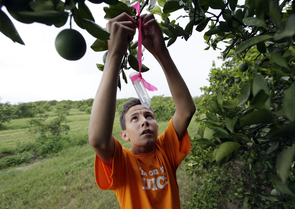 Photo - In this Friday, July 25, 2014 photo, Nick Howell, 13, a member of the McLean family who owns Uncle Matt's organic orange juice company, places a vial containing the tamarixia wasp to release in their orange groves in hopes of combating the citrus greening disease, in Clermont, Fla. Florida's $9 billion citrus industry is facing its biggest threat yet by a tiny invasive bug called the Asian Citrus Psyllid, which carries bacteria that are left behind when the psyllid feeds on a citrus tree's leaves. (AP Photo/Lynne Sladky)