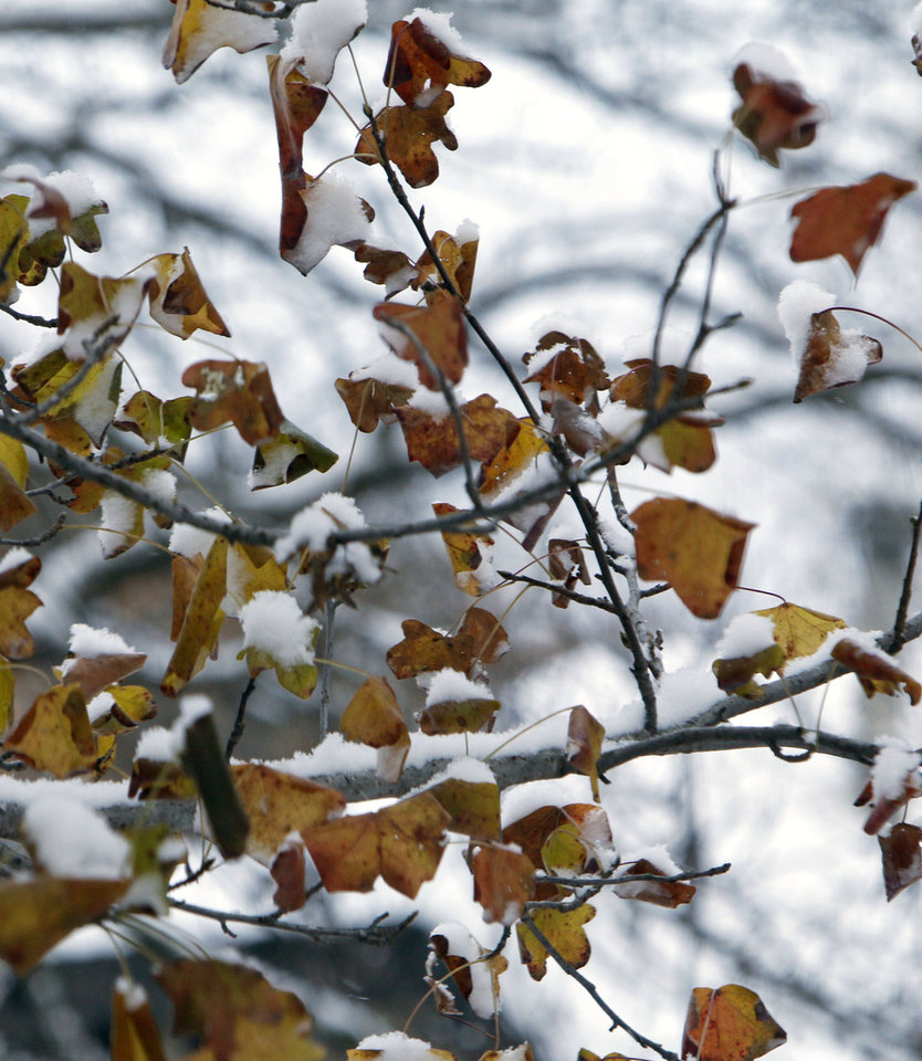 Photo - Snow piles up on Sweetgum leaves in Edmond, OK, Friday, December 6, 2013,  Photo by Paul Hellstern, The Oklahoman