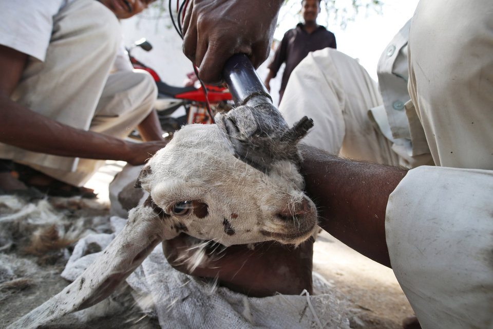 A goat is shaved to keep it cool during the severe summer months in New Delhi, India , Wednesday, May 8, 2013. The capital is reeling under a heat wave with temperatures touching 40.8 degrees Celsius (105 degrees Fahrenheit) Tuesday, two degrees above normal for this time of the year. (AP Photo/ Saurabh Das)