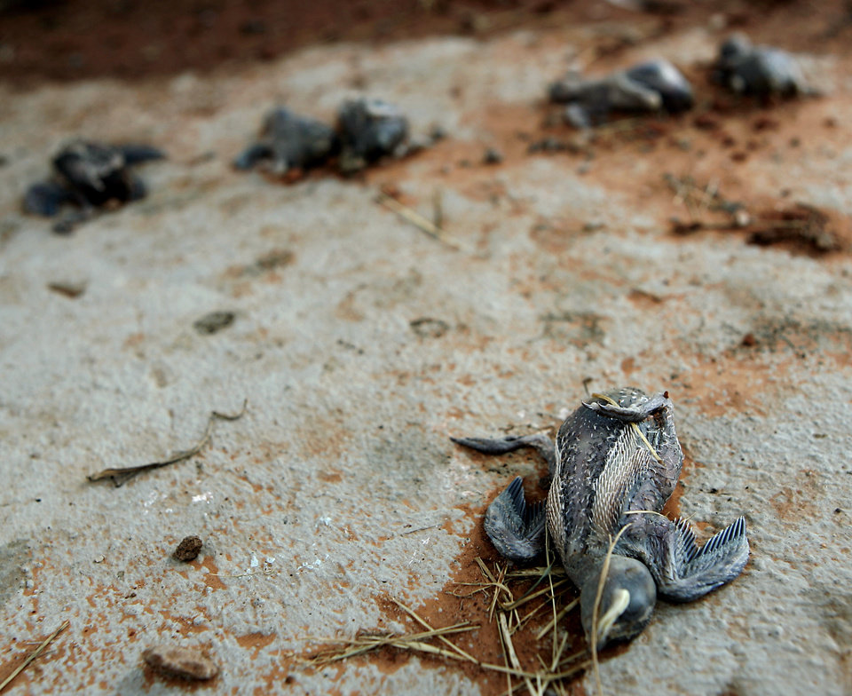 Photo - Dead baby birds lie on the wet stalls at Lake Hefner in Oklahoma City, on Monday, June 9, 2008. The birds were killed by a man who destroyed their nests. 186 birds were killed and one survived. By John Clanton, The Oklahoman