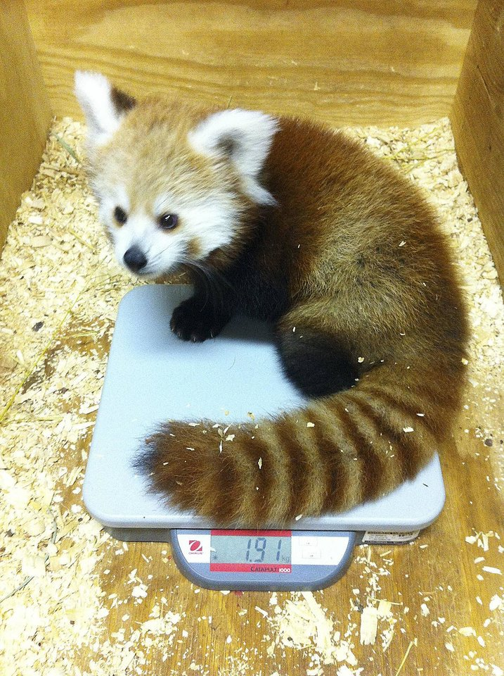 KayDee, a four-month-old red panda, gets her weight checked at the Oklahoma City Zoo. The panda was named after Thunder star Kevin Durant and was born the night the team won the NBA\'s Western Conference Championship. PROVIDED - PROVIDED