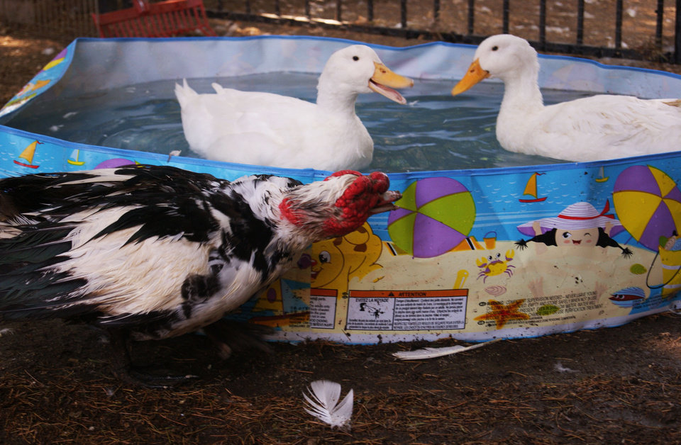 Photo - In this Aug. 21, 2011 photo provided by Lydia Yasuda, a Muscovy male duck named Quasimodo looks on while two Pekin ducks play in a swimming pool at The Lucky Duck Rescue & Sanctuary in Sun Valley, Calif.  It takes a special pet parent to raise a duck, said Carol Chrysong, 56, founder of The Lucky Duck Rescue & Sanctuary in Los Angeles. There is all that pond, pool or puddle play. AP Photo/Lydia Yasuda)