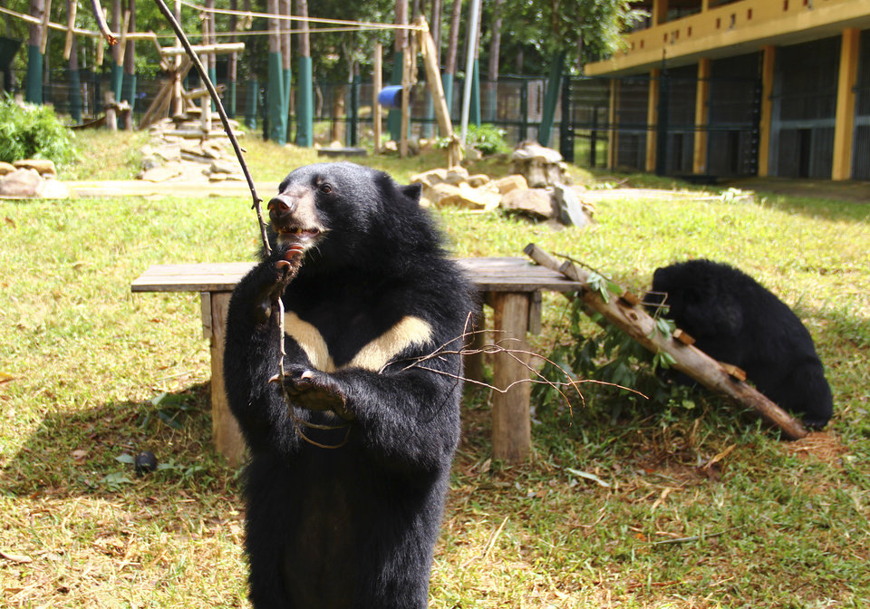 In this photo taken Oct. 29, 2012, a bear plays inside an enclosure with a stick at the Vietnam Bear Rescue Center in Tam Dao, Vietnam. The bears, some of them blinded or maimed, play behind tall green fences like children at school recess. Rescued from Asia\'s bear bile trade, they were brought to live in this lush national park, but now they may need saving once more. The future of the $2 million center is in doubt after Vietnam\'s vice defense minister in July ordered it not to expand further and to find another location, saying the valley is of strategic military interest. Critics allege the park director is urging an eviction because he has a financial stake in a proposed ecotourism venture on park property - accusations he rejects. (AP Photo/Mike Ives)