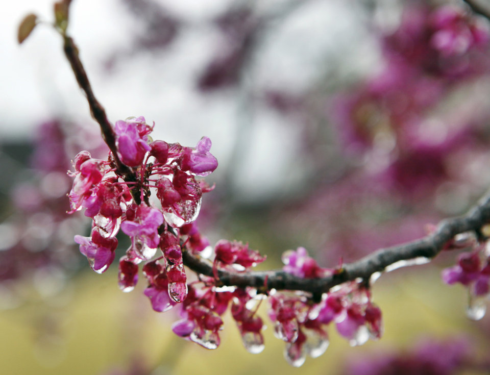 Ice covered redbuds at the Oklahoma City National Memorial & Museum, Wednesday, April 10, 2013. Photo By David McDaniel/The Oklahoman