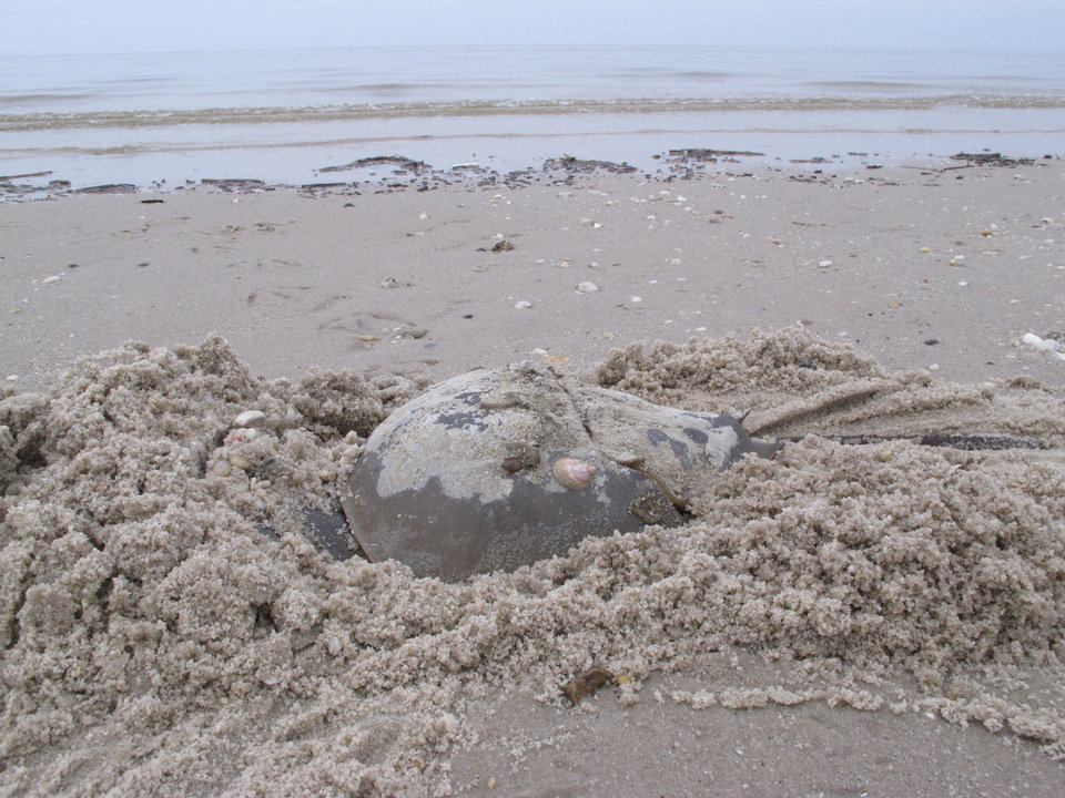 Photo - In this May 8, 2014 photo, a horseshoe crab burrows into the sand on a beach in Middle Township N.J. to lay eggs. A year-long project to replenish five Delaware Bay beaches that are vital to the continued survival of horseshoe crabs and the red knot, an endangered shorebird has been completed just in time for the second summer after Superstorm Sandy, which severely eroded the beaches and wrecked habitat for the animals. (AP Photo/Wayne Parry)