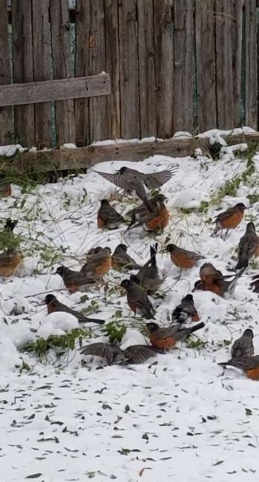 Photo -  Robins have been swarming Oklahoma City area neighborhoods and their sightings has generated a lot of discussion on social media. [FELICIA MURRAY/THE OKLAHOMAN