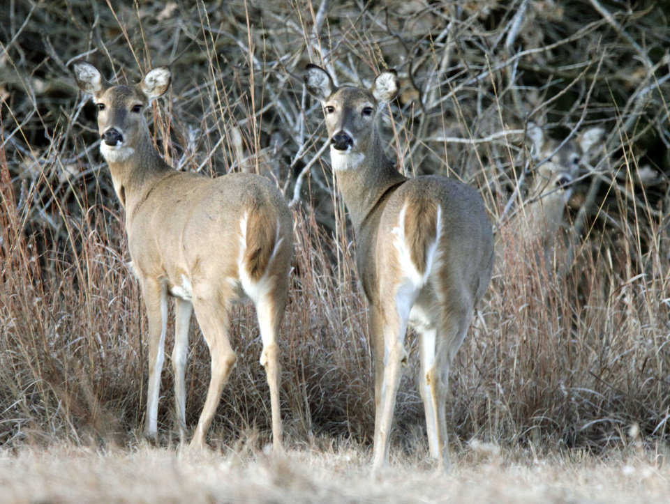 Whitetail Deer graze during the annual Eagle Watch at Lake Arcadia in Edmond, OK, Friday, Jan. 7, 2011. By Paul Hellstern, The Oklahoman