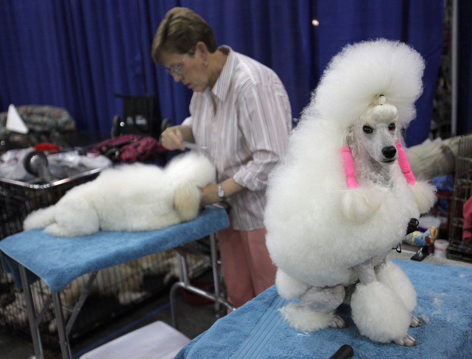 Joann Neal, of Texas, grooms her miniature poodles, Tush and Paige, during the OKC Summer Classic Dog Shows at the Cox Convention Center in Oklahoma City, Saturday, June 30, 2012.  Photo by Garett Fisbeck, The Oklahoman