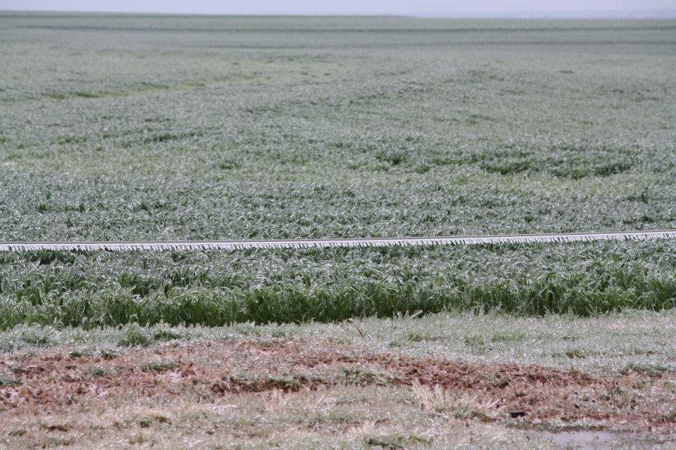 Photo - Ice is shown on a wheat field Wednesday northeast of Cordell. Photo provided