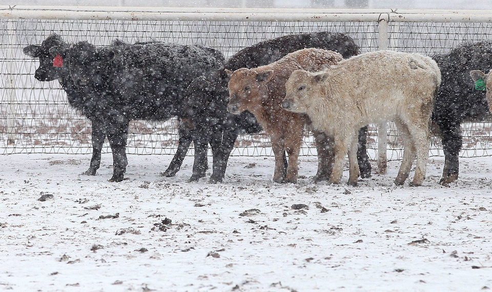 Photo - Cattle stand in blizzard conditions in Lubbock, Texas, Monday, Feb. 25, 2013. Monday, Feb. 25, 2013. State troopers are unable to respond to calls for assistance and National Guard units are mobilizing as a winter storm blankets the central Plains with a foot of snow in some places. Roads are closed Monday throughout West Texas and the Panhandle. (AP Photo/Lubbock Avalanche-Journal, Zach Long)