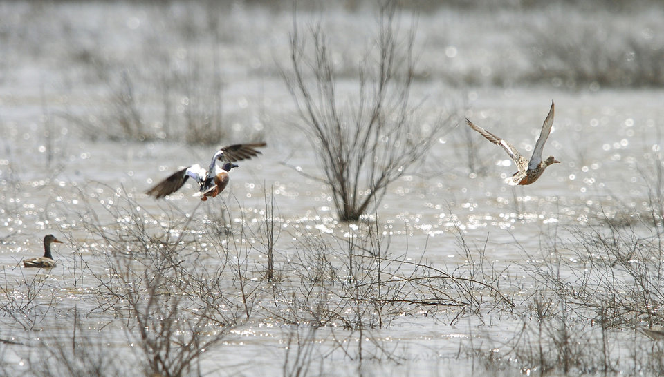 Photo -  A pair of Northern Shovelers take off from Hackberry Flat. Bird watchers flock to the wetland during the height of the bird watching season from March to May. [OKLAHOMAN ARCHIVES]