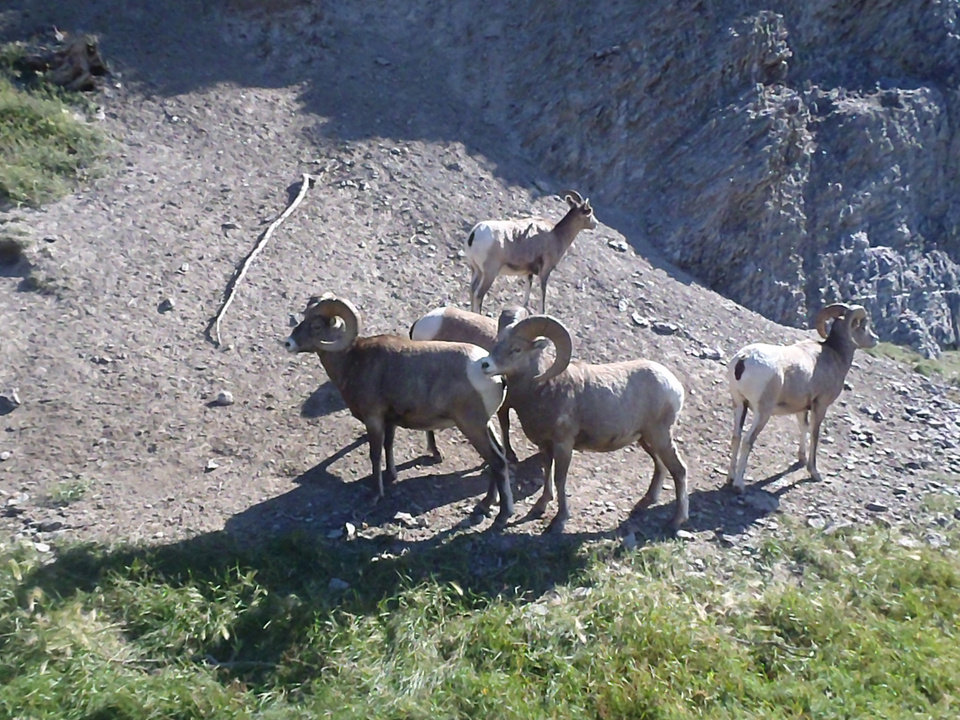 Photo - Wildlife such as bighorn sheep or plentiful along the Alaska Highway. PHOTO PROVIDED