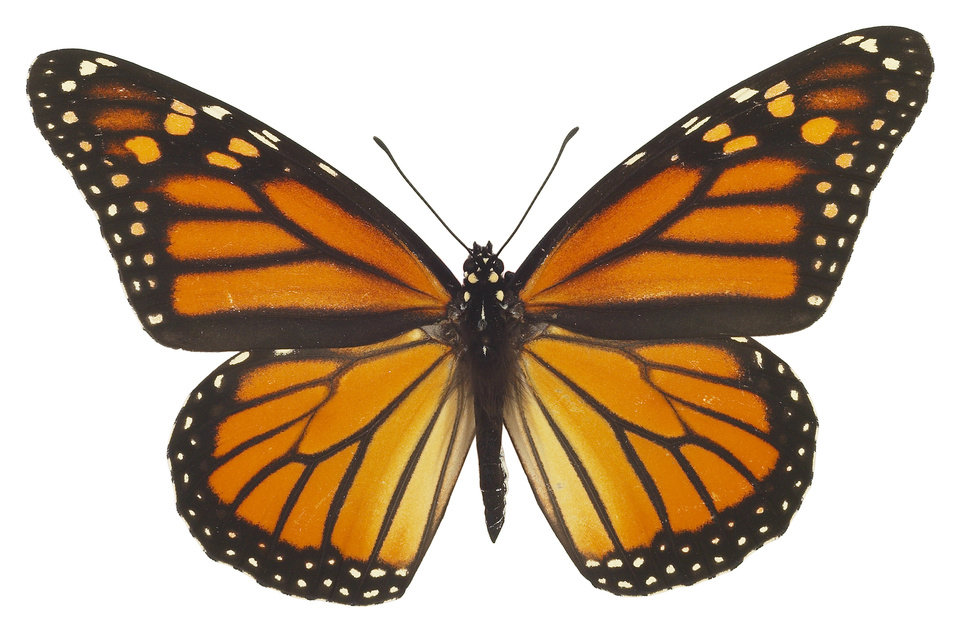 Photo - Monarch butterfly   ORG XMIT: 0909281548147427