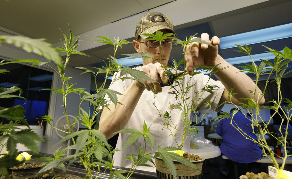 Photo - In this July 1, 2014, photo, Mike Thrapp, head grower at Sea of Green Farms, a recreational pot grower in Seattle, trims damaged leaves from marijuana plants. As the plants grow into larger plants that produce the desirable