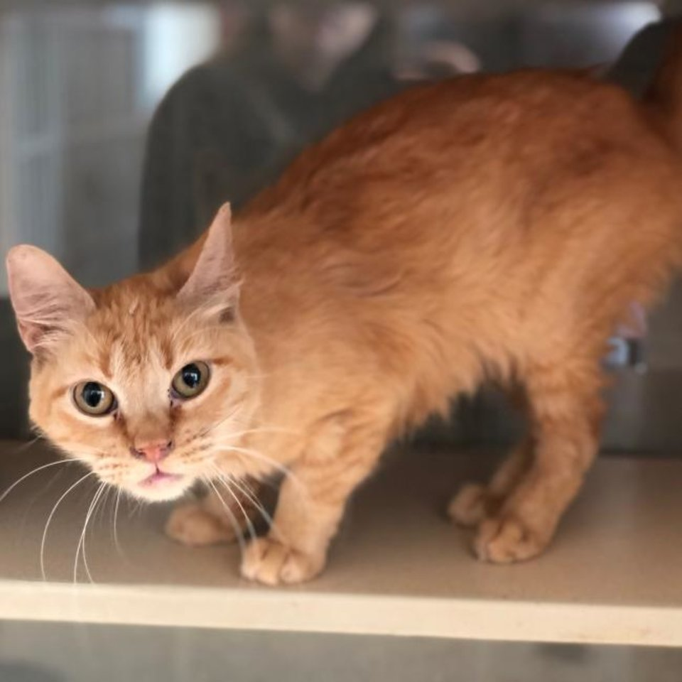 Photo -  Barbara, an orange tabby domestic shorthair, came to the Edmond Animal Welfare shelter from a hoarding situation. Barbara is about 6 years old. She is very friendly and loves to hang out with you. She would make a wonderful companion. The shelter is open on a limited basis due to COVID-19 and construction. Call 405-216-7615 to set up an appointment to meet Barbara. The shelter is at 2424 Old Timbers Road. [PHOTO PROVIDED]