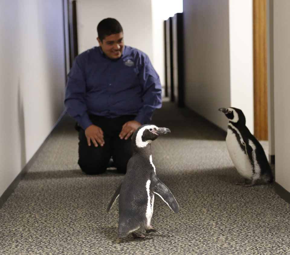 SeaWorld animal ambassador Clay Carabajal watches as Penny and Pete, two Magellanic penguins, roam the halls at OPUBCO on Thursday, Feb. 21, 2013, in Oklahoma City, Okla. Photo by Doug Hoke, The Oklahoman