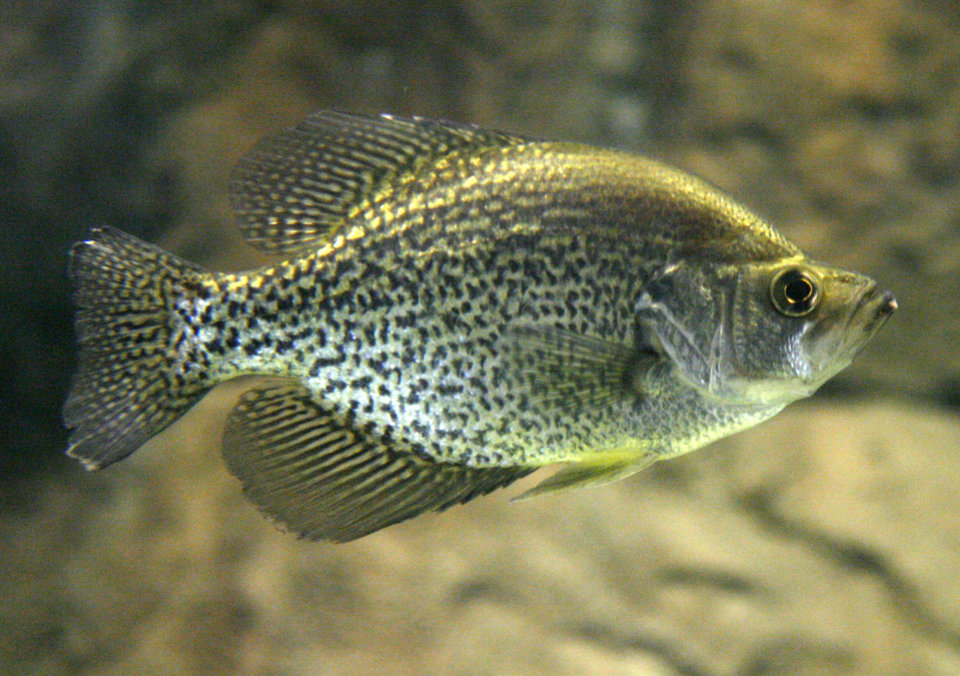 Photo - CRAPPIE: A native Oklahoma fish swims through one of the aquariums at the soon-to-be-opened