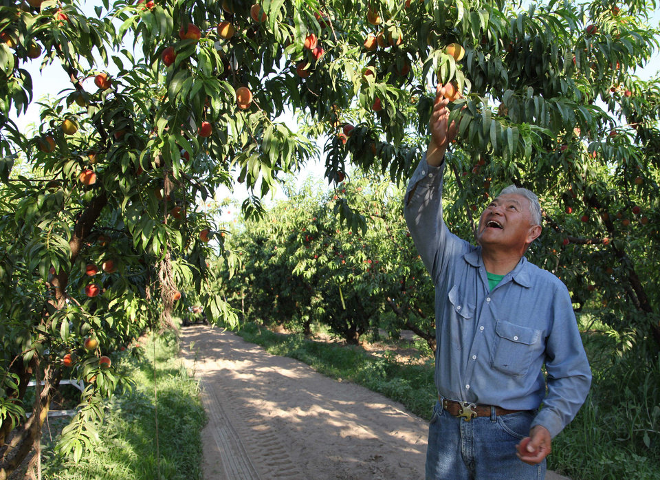Photo - In this photo taken Friday, June 7, 2013, farmer David Mas Masumoto inspects the peaches on a tree in his orchard in Del Rey, Calif. Masumoto and his family use creative projects such as a recently published cookbook and an adopt-a-tree program to involve consumers hungry for contact with their farmers. (AP Photo/Gosia Wozniacka)
