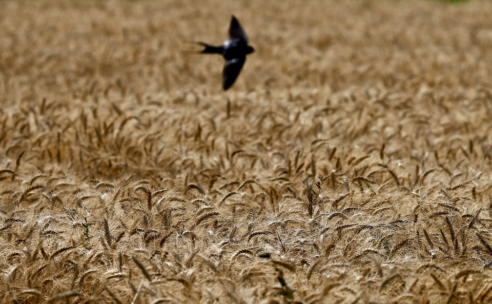 In this Monday, May 13, 2013 photo, a bird flies over a wheat field, in Qalubiyah, North Cairo, Egypt. Bread is perhaps the most volatile issue amid mounting economic concerns as Egyptian President Mohammed Morsi nears the end of the first year in office. In recent months, Egypt has faced fuel shortages, water and electricity cuts and rising food prices, at a time of intense political polarization between Morsi and his Islamist supporters and the mainly secular and liberal opposition. In a country where at least 40 percent of the population of 90 million lives near or below the poverty line, millions rely on cheap bread subsidized by the government. (AP Photo/Hassan Ammar)