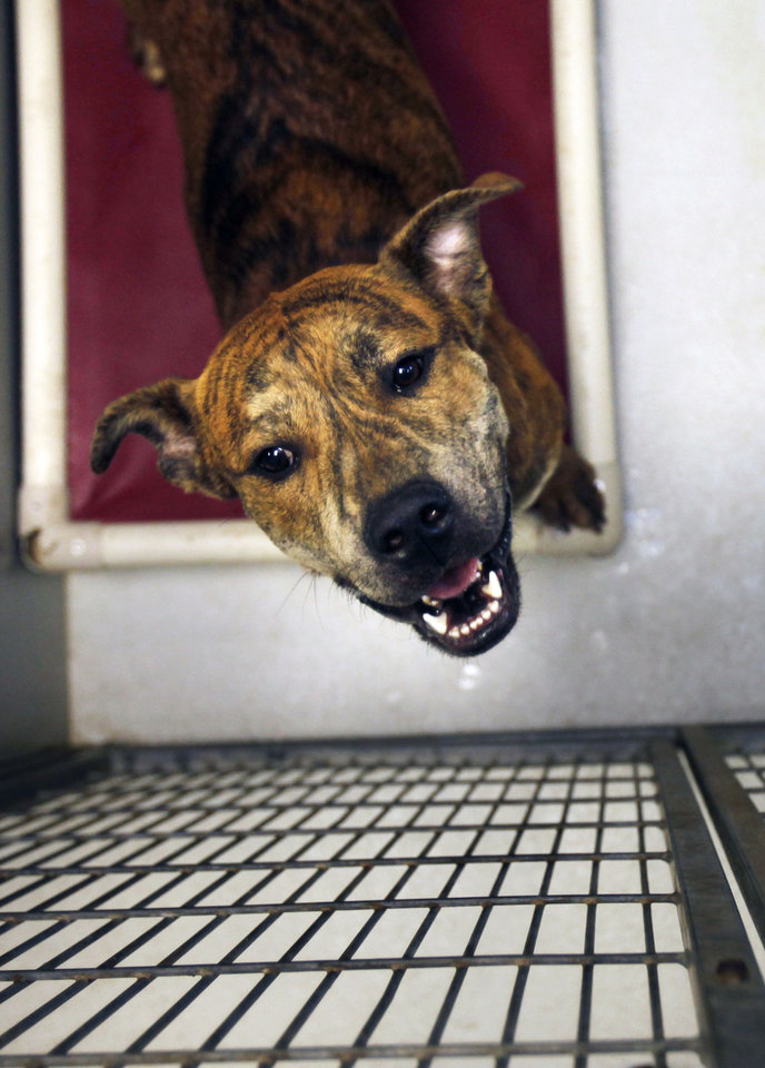 A one-year-old male Mastiff mix looks up from his cage at the Edmond Animal Shelter in Edmond , OK, Tuesday, Jan. 10, 2012. The shelter adopted 279 more dogs, cats and small animals in 2011 over the previous year. By Paul Hellstern, The Oklahoman